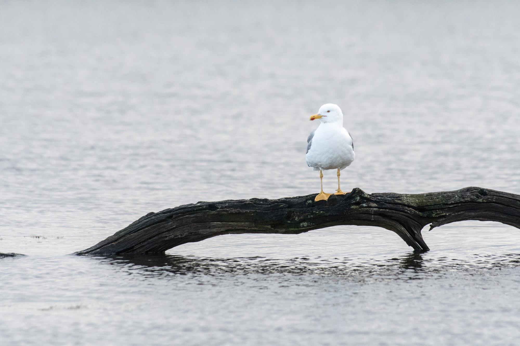 Goéland au Teich